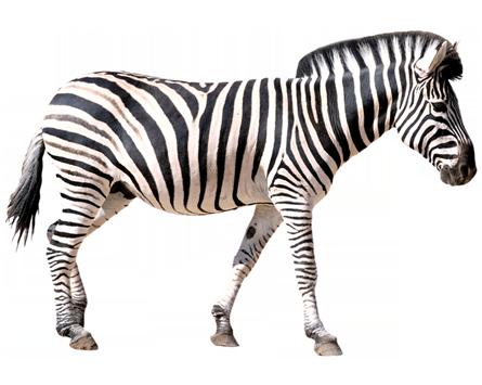 de zebra